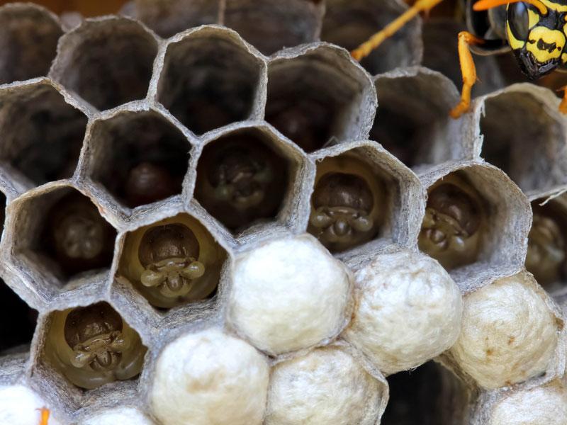 Retrait d 39 essaims d 39 abeilles angers - Essaim de guepe ...